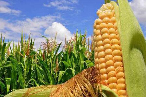 کسب درآمد شش میلیارد تومانی کشاورزان هلیلانی از کشت ذرت