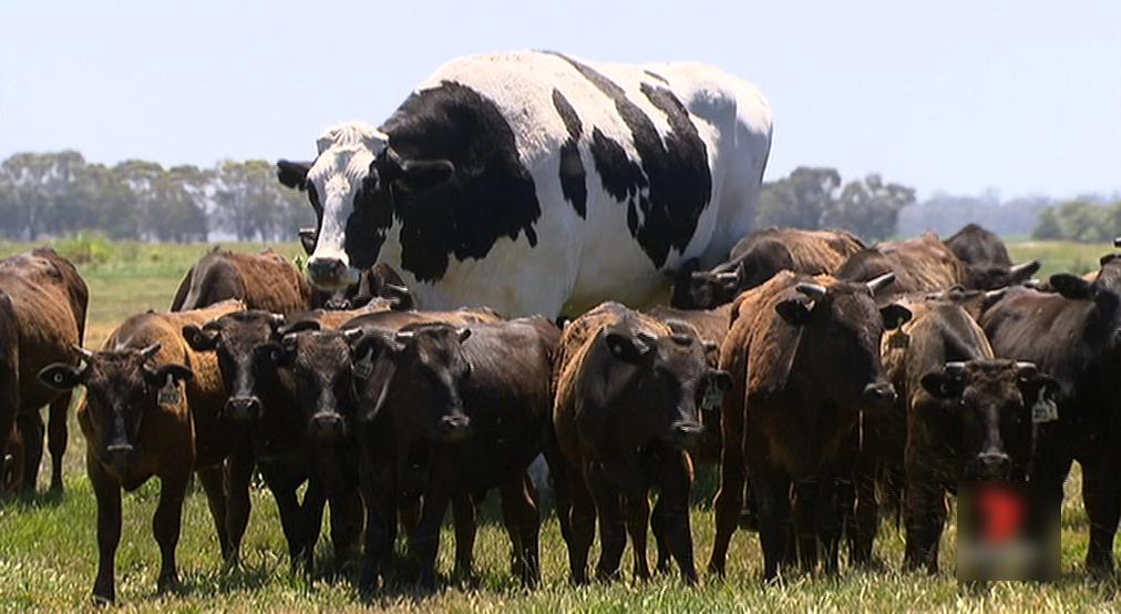 ابَر گاو 2 متری در استرالیا که خریداری ندارد!