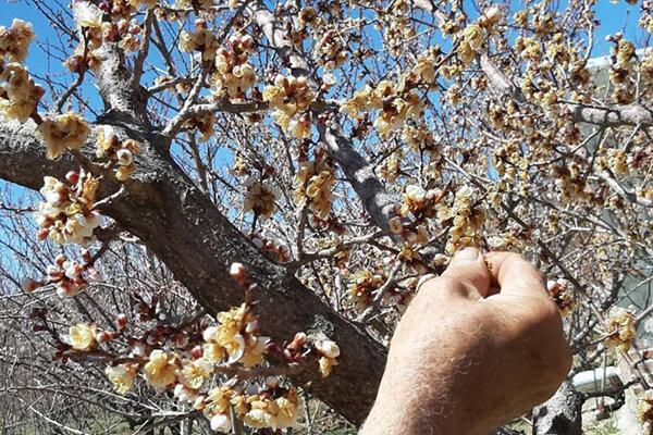 میزان خسارت سرمازدگی بخش کشاورزی و باغی زنجان پایین است