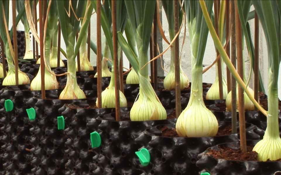 کاشت پیاز خوراکی در گلدان به 2 روش (کاشت بذر و کاشت ریشه)