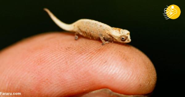 (عکس) کوچکترین خزنده دنیا کشف شد